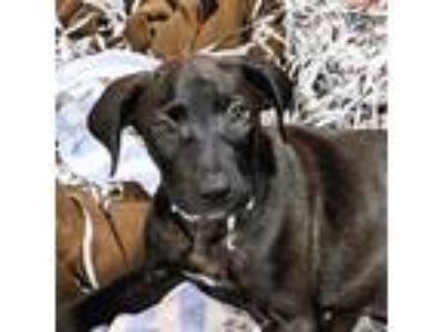 Adopt Lexus a Black Labrador Retriever / Mixed dog in New Castle, DE (25835038)