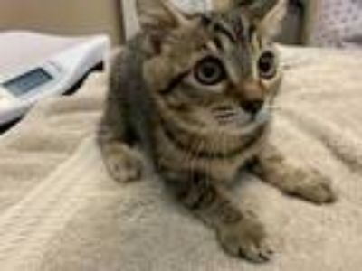 Adopt SPRING a Brown Tabby Domestic Shorthair / Mixed (short coat) cat in