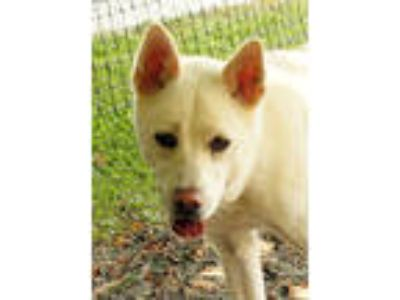 Adopt Snowball a Husky, German Shepherd Dog