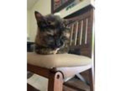 Adopt Pixie a Tortoiseshell American Shorthair cat in San Diego, CA (25823599)