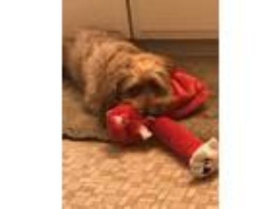 Adopt Piner a Red/Golden/Orange/Chestnut Dachshund / Lhasa Apso dog in Tustin