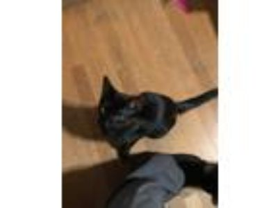 Adopt China a All Black American Shorthair cat in Green Bay, WI (25249753)