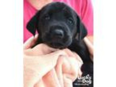 Adopt Richie a Labrador Retriever, Shepherd