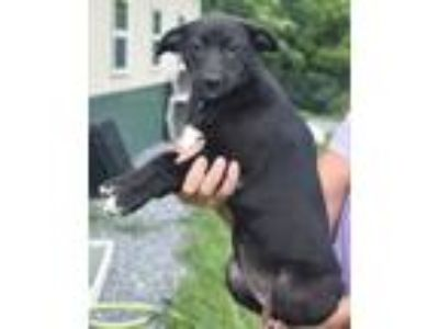 Adopt Ophelia-At Wagsmore 7/13! www.lhar.dog to apply a Shepherd, Border Collie
