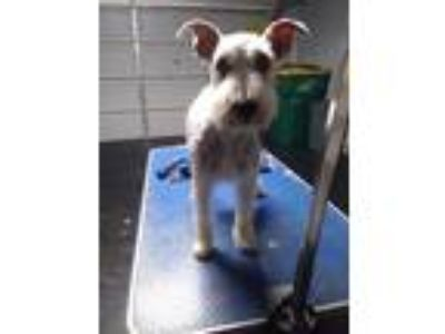 Adopt Bella a Tan/Yellow/Fawn - with White Schnauzer (Miniature) / Mixed dog in