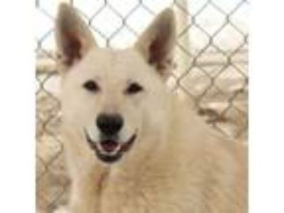 Adopt Mercury a German Shepherd Dog