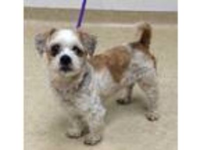 Adopt Sunny a Tan/Yellow/Fawn Shih Tzu / Dachshund / Mixed dog in Caldwell