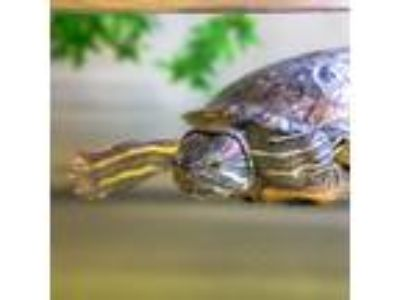 Adopt Pee-Wee a Turtle - Water reptile, amphibian, and/or fish in Golden