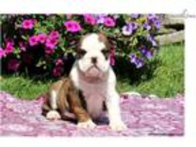 Aleda - English Bulldog