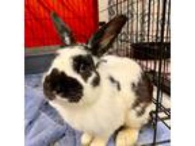Adopt Harold a American / Mixed rabbit in Des Moines, IA (25918259)