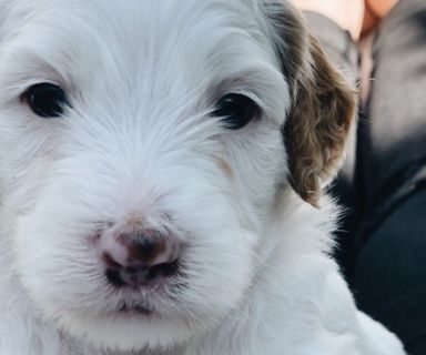 Poodle (Toy)-Sheepadoodle Mix PUPPY FOR SALE ADN-131384 - Mini F1b Sheepadoodle Puppies