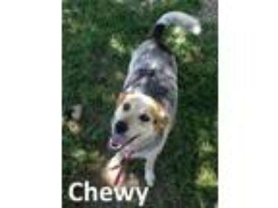 Adopt Chewy a Australian Cattle Dog / Blue Heeler, Beagle