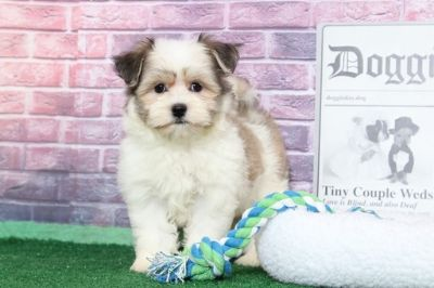 Havanese PUPPY FOR SALE ADN-95895 - Max Adorably Cute Male Havanese Puppy