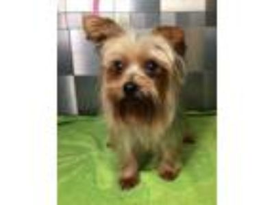 Adopt Yoli SDR in TX a Yorkshire Terrier