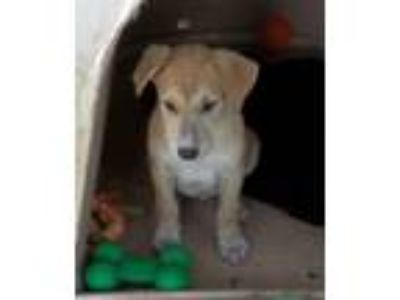 Adopt Wrangler a Tan/Yellow/Fawn - with Black Labrador Retriever / Shepherd