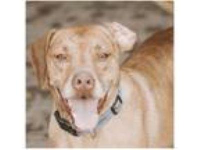 Adopt Zeuss a Plott Hound, Staffordshire Bull Terrier