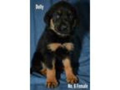 Adopt Dolly a Rottweiler, Mixed Breed