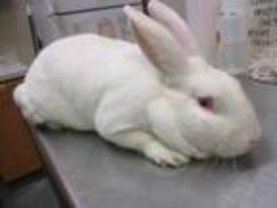 Adopt Beyonce a White New Zealand / New Zealand / Mixed rabbit in Houston