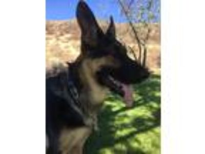 Adopt Roxie a Black - with Tan, Yellow or Fawn German Shepherd Dog / Mixed dog