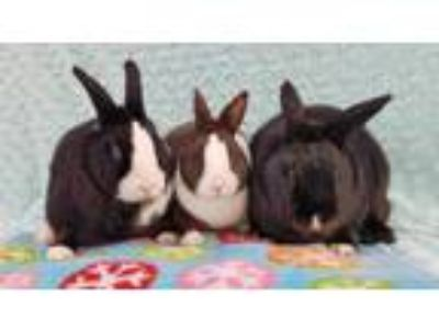 Adopt Duncan (Bonded to Peaches and Prince) a Black Polish / Mixed rabbit in San