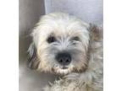 Adopt Duke a White - with Gray or Silver Lhasa Apso / Mixed dog in Cranston