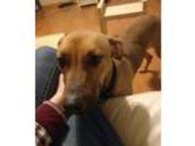 Adopt Dei a Tan/Yellow/Fawn - with Black German Shepherd Dog / Labrador