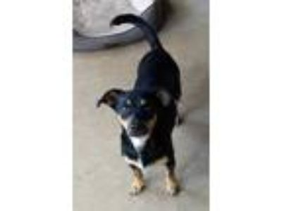Adopt Petunia a Black Terrier (Unknown Type, Small) / Mixed dog in Fort Collins