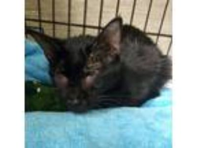 Adopt Chocolate a All Black American Shorthair / Mixed cat in Hudson