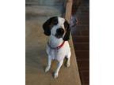 Adopt Cloe a Tricolor (Tan/Brown & Black & White) Coonhound / Hound (Unknown