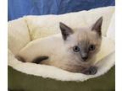 Adopt Siamese Kitten a White (Mostly) Siamese (short coat) cat in Seminole