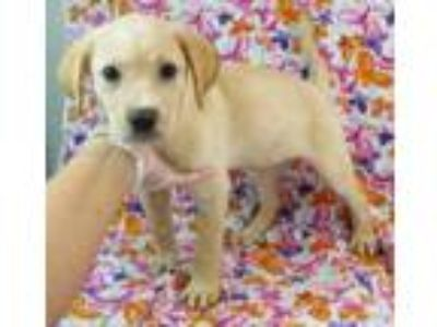 Adopt Blondie a Tan/Yellow/Fawn Labrador Retriever / Mixed dog in Morton Grove