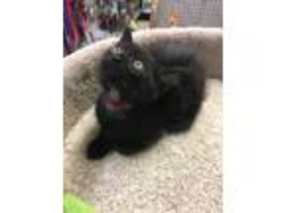 Adopt Figaro a Domestic Short Hair