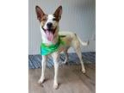 Adopt Cambridge a Terrier, Mixed Breed