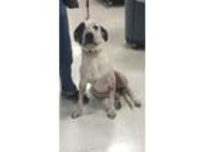 Adopt Bucket a Merle Catahoula Leopard Dog / Mixed dog in New Roads
