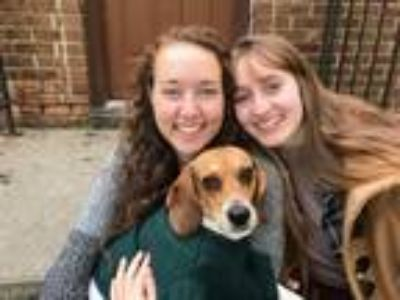 Adopt Scout a Brown/Chocolate - with White Beagle dog in Fairborn, OH (25286548)
