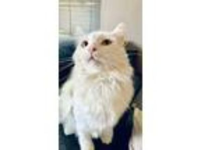 Adopt Joey a Domestic Long Hair, Maine Coon