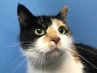 Adopt Beatrice a White Domestic Shorthair / Mixed cat in Golden Valley
