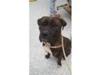 Adopt David Banner a Boxer / Shar Pei / Mixed dog in Angola, IN (25313586)