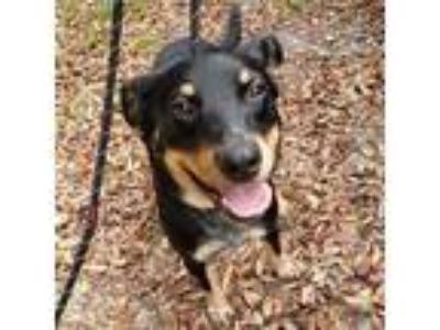 Adopt Breanna a Black Cattle Dog / Doberman Pinscher dog in Gainesville