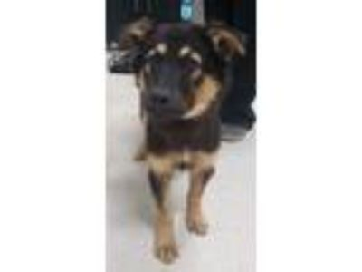 Adopt Rain a German Shepherd Dog, Belgian Shepherd / Malinois
