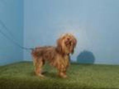 Adopt ZOE a Yorkshire Terrier