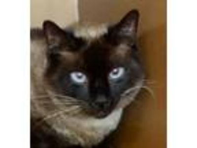 Adopt Star -$125 Adoption Fee a Siamese, Domestic Short Hair
