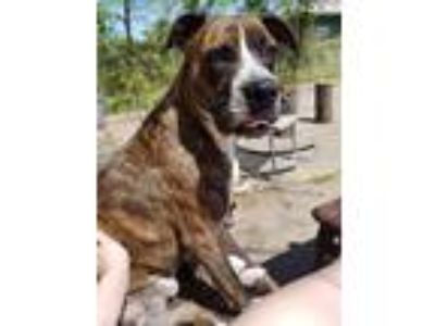 Adopt Cooper a Brindle - with White Boxer / American Pit Bull Terrier / Mixed