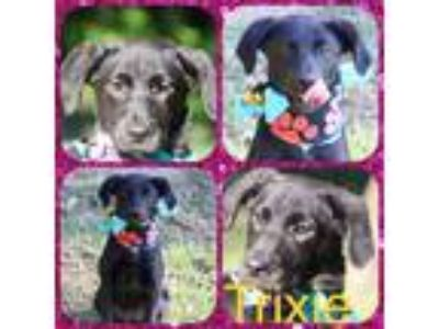 Adopt Trixie a Black Labrador Retriever / Terrier (Unknown Type