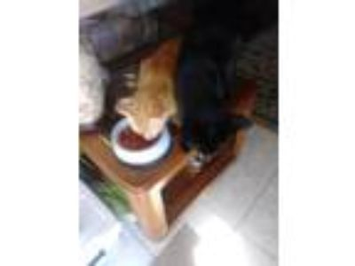 Adopt Shadow and Simba a Orange or Red American Shorthair / Mixed cat in