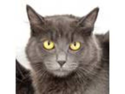 Adopt Ashley a Gray or Blue Russian Blue / Mixed (medium coat) cat in Redondo