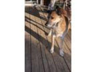 Adopt Bear a Tan/Yellow/Fawn Border Collie / German Shepherd Dog dog in Dallas