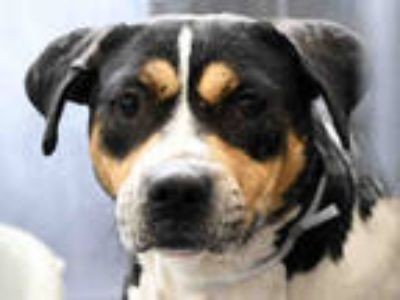 Adopt APOLLO a Tricolor (Tan/Brown & Black & White) American Pit Bull Terrier /