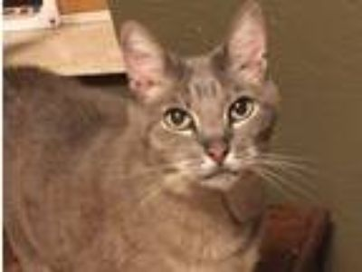 Adopt Sassy a Gray, Blue or Silver Tabby American Shorthair / Mixed cat in