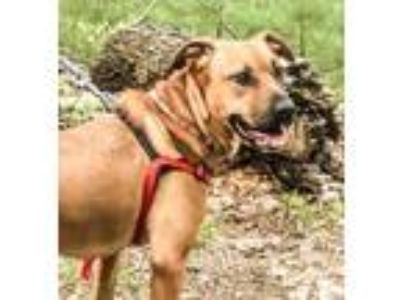 Adopt Hippa a Black Mouth Cur / Shepherd (Unknown Type) / Mixed dog in